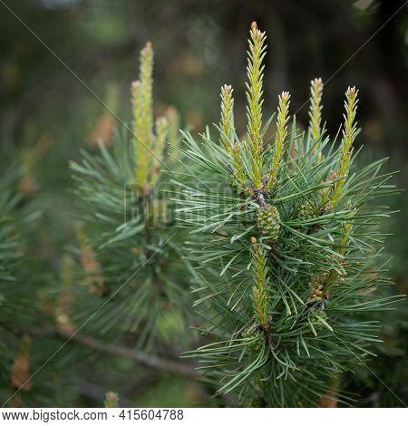 Young Shoots And Pine Cones Close-up. Small Pine Cones And New Spruce Shoots, Young Pine Needles And