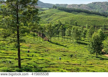 Unidentified indian woman picking up fresh tea leaves at Munnar tea plantation in Kerala state, India