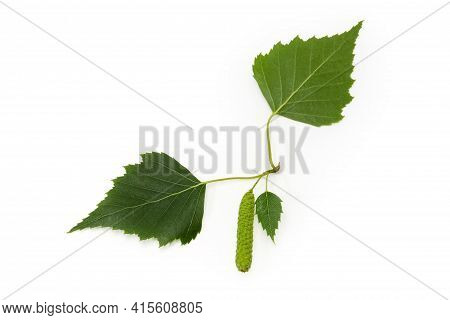 Leaves Of The Silver Birch With Female Catkin On A White Background Close-up