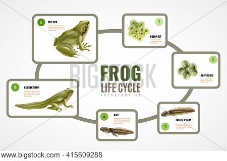 Frog Life Cycle Realistic Infographic Chart From Eggs Mass Embryo Development Tadpole To Adult Anima