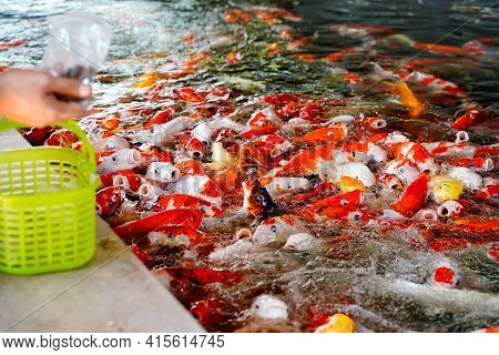 Close Up People Holding Fish Food And Basket For Feeding Time To Fancy Carps In The Zoo.close Up Koi