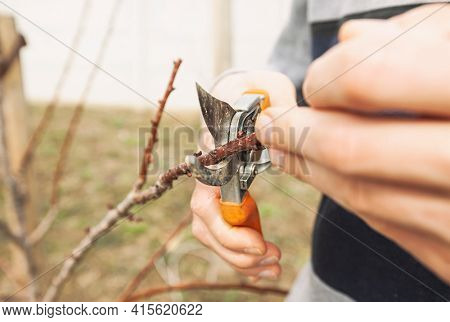 The young man is cutting the branch of tree by secateur in the early spring