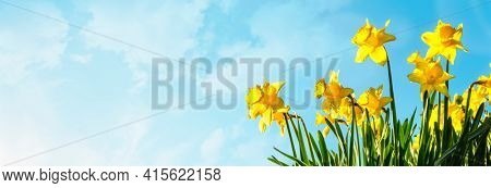Spring flower background Daffodils against a blue sky with copy space