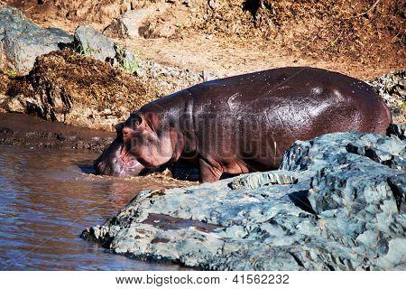 Hippo, hippopotamus walking to the river. Safari in Serengeti, Tanzania, Africa poster