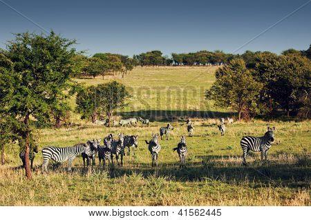 Zebras herd on savanna, Africa. Safari in Serengeti, Tanzania poster