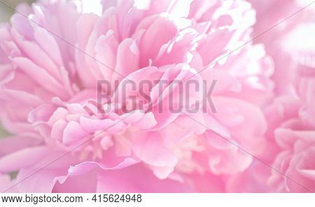 Tender Summer Floral Background, Pink Peony Flower Blossomed In The Garden, Unfocused Abstract Flowe