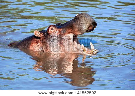 poster of Hippo, hippopotamus with mouth open in river. Safari in Serengeti, Tanzania, Africa