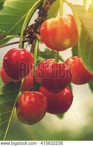 Cherry Berries On A Tree In The Sun. Sour Cherries On The Branch. Red And Sweet Cherries On A Branch