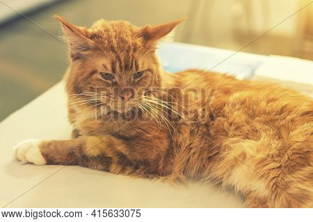 Sunny Portrait Of Cute Red Ginger In Sunny Summer Day. Ginger Cat Liyng. Toned