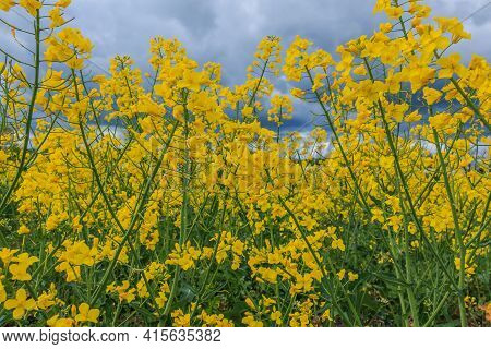 Landscape Of Brassica Napus Plants From A Rapeseed Field. Lots Of Yellow Flowers With Green Stem And