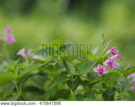 Chinese Violet, Coromandel, Ganges Primrose, Philippine Violet Flower Acanthaceae, Asystasia Gangeti
