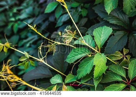 Green Grape Leaves In Vineyard. Inspirational Natural Floral Spring Or Summer Farming Green Garden B