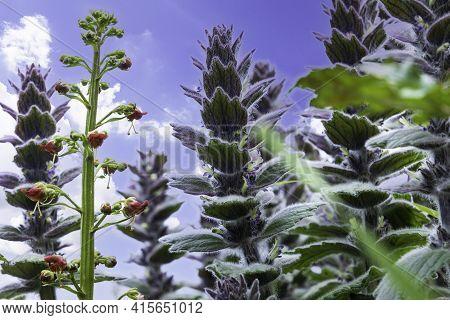 Blooming Ajuga Pyramidalis Close Up Against The Blue Sky
