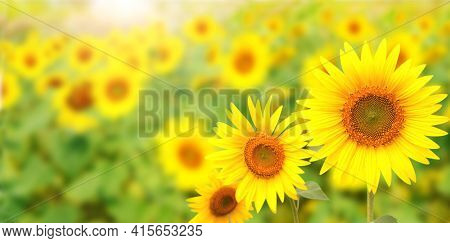 Bright yellow sunflowers on green blurred sunny background. Horizontal banner with sunflower field. Copy space for text. Mock up template