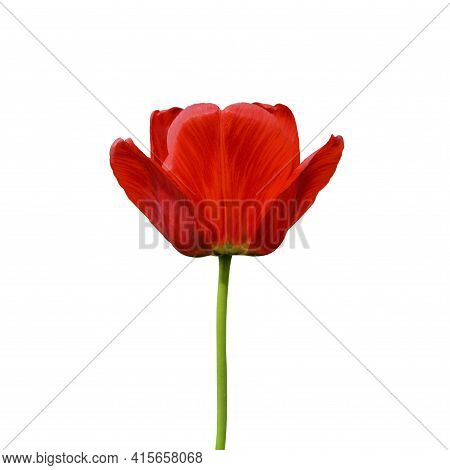 Red Tulip Flower Isolated On White Background. Tulip Flower Head Isolated On White. Spring Flowers.