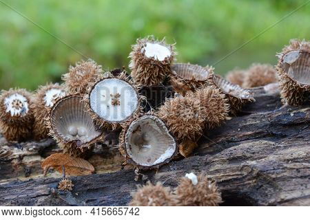 Cyathus Striatus Or Bird's Nest Mushrooms In Different Stages Of Development In Natural Habitat, On