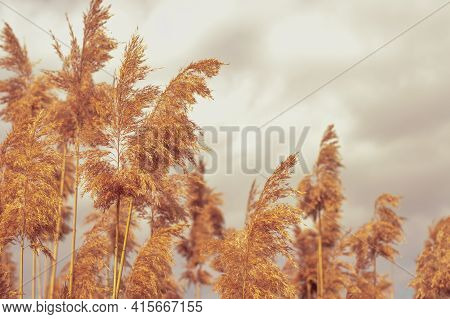 Blurred Image Of Reed Inflorescences Against The Background Of A Cloudy Sky.photo With Bokeh Effect.