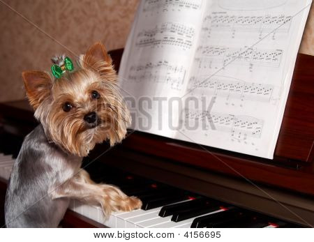 One year Yorkshire Terrier playing piano. Funny shot poster
