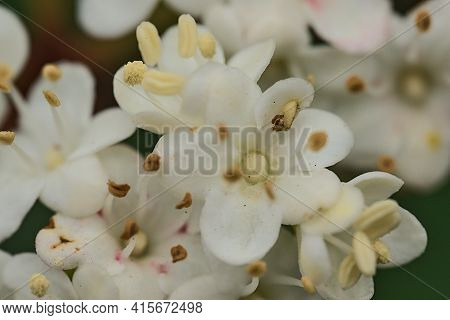 Beautiful Macro View Of Arrowwood (korean Spice Viburnum Carlesii) Spring Blossoms With Anthers And