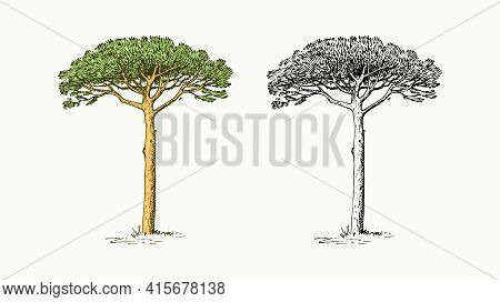 Stone Pine Tree In Vintage Style. The National Symbol Of Greece. Hand Drawn Engraved Sketch In Vinta