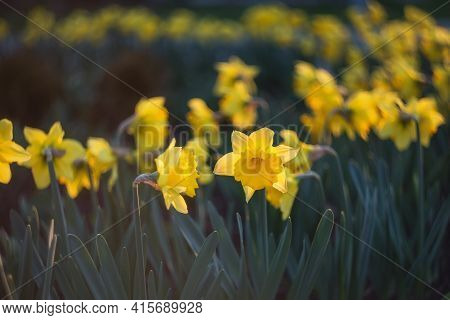 Spring Flowers Background. Yellow Narcissus (daffodils) Close Up Bloom In The Garden. Field Of Narci