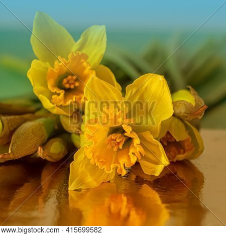 Close-up Of Water Droplets On Yellow Daffodils Buds In Dark Lighting. Flowers Daffodils On A Reflect