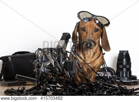 A Red-haired Dachshund Dog Sits Entangled In A Black Thin Film And Next To It There Is An Old Film V