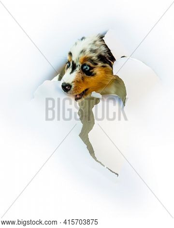Cute Australian Shepherd blue merle puppy peeking out from  white cartoon. The head of puppy dog through a hole on a white torn paper background.