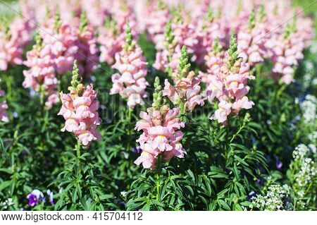 Antirrhinum Flowers Commonly Known As Dragon Flowers Or Snapdragons. Summer Garden Background Photo