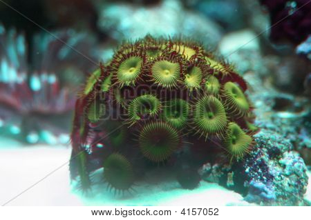 Bright green coral from the Red Sea poster