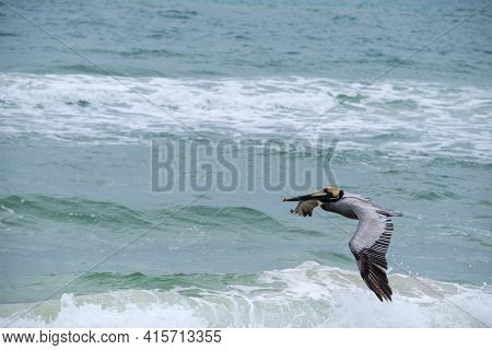 Brown Pelican Flying Over The Gulf Of Mexico In Gulf Shores, Alabama, Usa