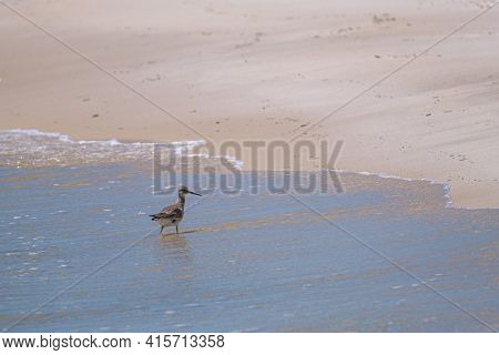 Willet Wading On The Shore Of The Gulf Of Mexico