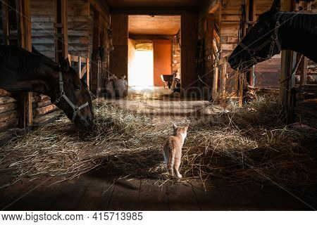 A Pet Of The Owners Of The Stable, A Ginger Cat, Walks Around The Stable With Horses