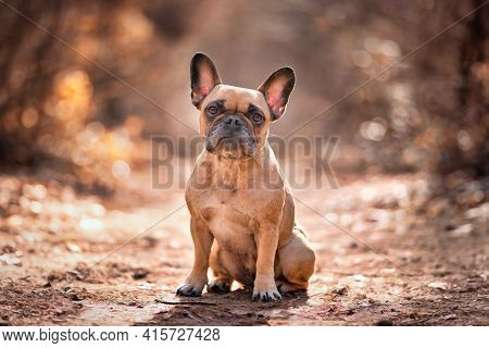 Small Fawn French Bulldog Dog Sitting In Forest With Beautiful Orange Light
