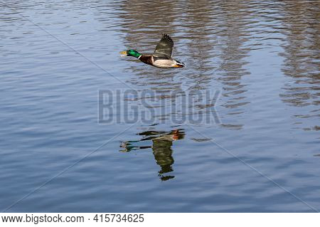 The Mallard, Anas Platyrhynchos Is A Dabbling Duck. Here Flying In The Air Over A Lake In Munich, Ge