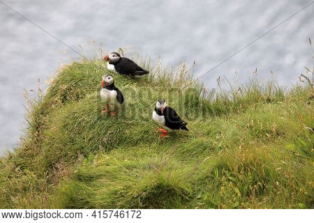Vik / Iceland - August 15, 2017: Puffins At Dyrholaey Promontory, Vik, Iceland, Europe