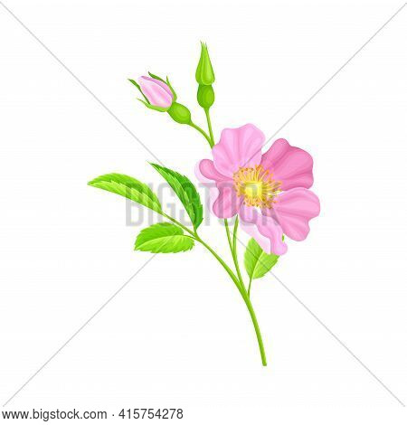 Rosa Canina Or Dog Rose With Pale Pink Flower And Green Pinnate Leaves On Stem Vector Illustration
