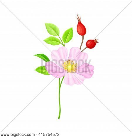 Tender Pink Flowers Of Rosa Canina Or Dog Rose Plant Specie With Mature Red Rose Hips Vector Illustr