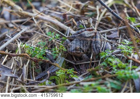 Beautiful Frog Common Frog - Rana Arvalis Sitting In A Leaf. The Frog Has Distinctive Eyes.