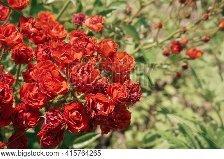 Background From A Large Bush Of Beautiful Red Or Pink Bright Roses. A Bush Of Fresh Flowers In The G
