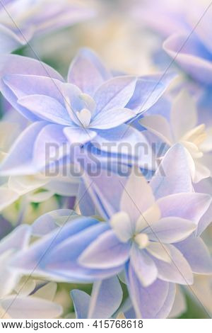 Light Natural background - gentle Hydrangea flower. Super macro of delicate small flowers.  Screen saver natural background. Pastel colored.