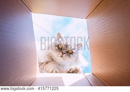 Funny Cute Playful Persian Cat Looking In Cardboard Box. Cat Loves To Play With Box