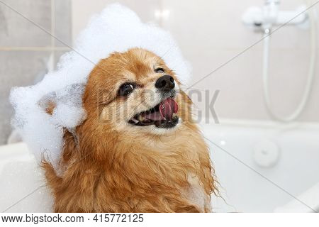 Happy Face Of A Red Dog In The Bathroom With Foam On His Head. The Hair Of A German Spitz Dog Is Was