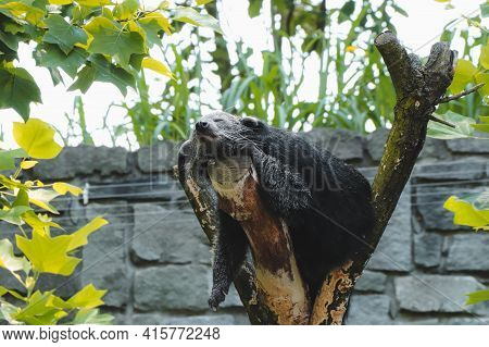 Totally Tired, Binturong Fell Asleep On A Branch, His Limbs Vertical From The Branch Down, Sleeping