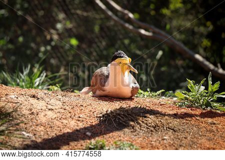 Animal And Bird Portrait Of Masked Lapwing Lying Or Nesting In Dusty Soil And Resting After His Arri