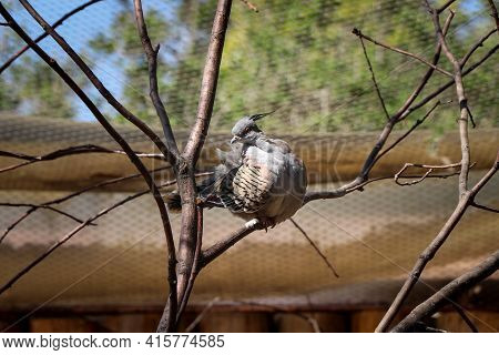 Small Bird Model Crested Pigeon Sitting On A Branch And Sticks Out Her Beautifully Colored Chest Loo