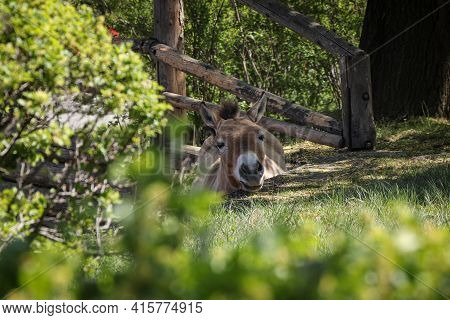 Portrait Of Equus Przewalskii Through Grass And Bushes. Przewalski's Horse's Head Peeks Out From Beh