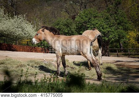 Ast Wild Horse Living In The Wild - Przewalski's Horse While Peeing. Mongolian Wild Horse Or Dzungar