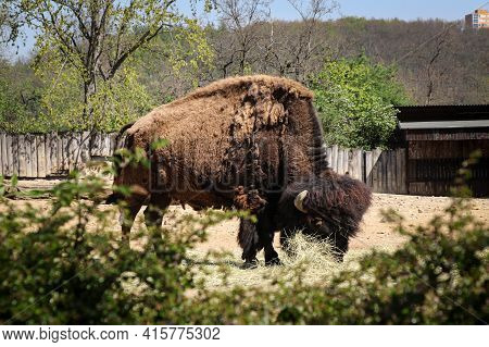 Black And Brown Huge And Heavy American Bison Eats A Piece Of Straw In An Arid Wasteland. Bison Biso