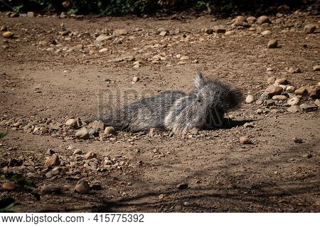 Very Endangered Chacoan Peccary Rests On The Heated Sand And Dreams Of Food. The Gray Catagonus Wagn